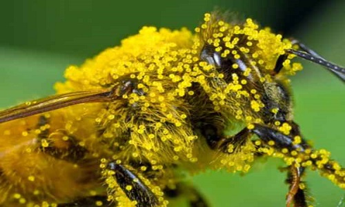 Abejas masculinas